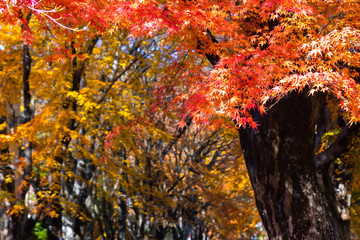 the beautiful autumn color of Japan maple..leaves on tree is gre