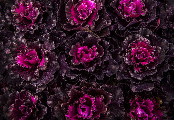 Red Violet Cabbage Background, Top view