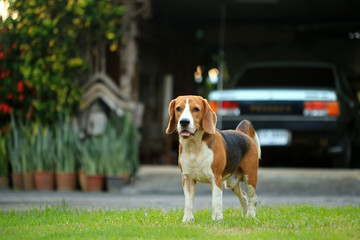 beagle dog outdoors