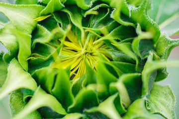 Not bloomed sunflower
