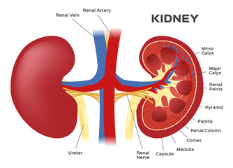 kidney anatomy vector . kidney infographic