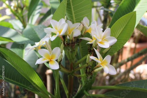 Yellow and white frangipani tree flowers or temple tree red yellow and white frangipani tree flowers or temple tree red paucipan mightylinksfo Image collections