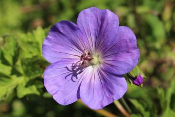 """Blue """"Cranesbill"""" flower in Zurich, Switzerland. Its botanical name is Geranium, native to Mediterranean region."""