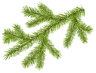 Green fir branch with short needles