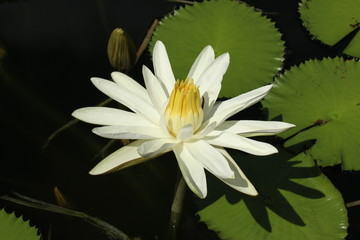 """Yellow and white """"Water lily"""" flower in a pond in Zurich, Switzerland."""