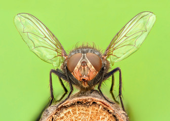 Extreme magnification - Fly with spread wings