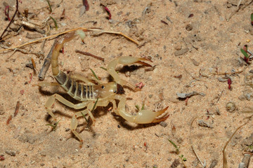 Burrowing scorpion hunting for termite allates