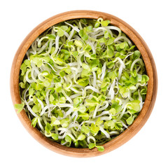 Radish sprouts in wooden bowl. Fresh yellow green germinated seeds of the root vegetable Raphanus sativus. Prominent ingredient in raw food diet. Isolated macro photo close up from above over white.