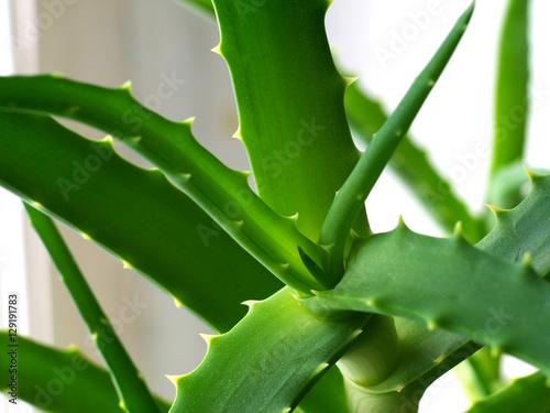 aloe arborescens leaf macro shallow depth of field. Black Bedroom Furniture Sets. Home Design Ideas