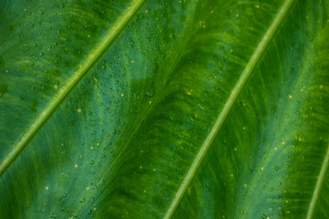 green elephant ear leaf  closeup