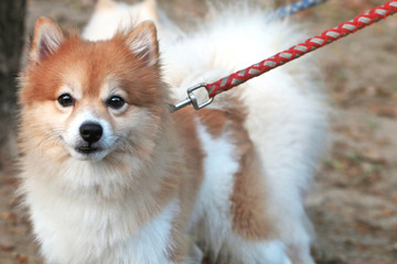 Pomeranian dog close up