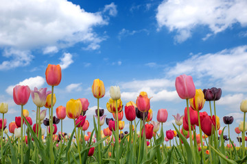 Fototapete - Tulpenfeld mit bunten Tulpen, blauer Himmel mit Wolken