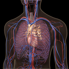 X-ray View of Chest, Heart, Lungs, Arteries, Veins on Black