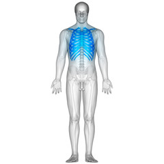 Human Skeleton Ribs with vertebral column Anatomy