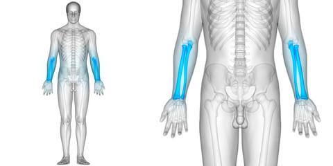 Human Skeleton Radius and Ulna Bones