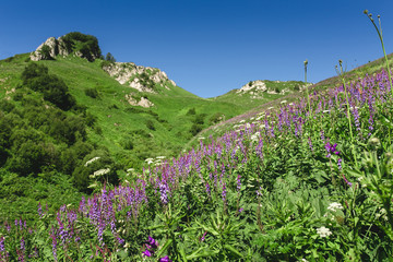 Lilac wild flowers in the meadow on the grassy green hill