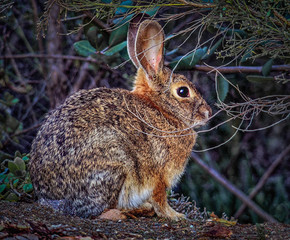 Bush Rabbit