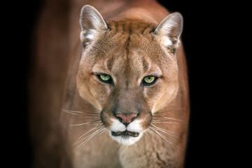 Zelfklevend Fotobehang Panter Puma, cougar portrait isolated on black background