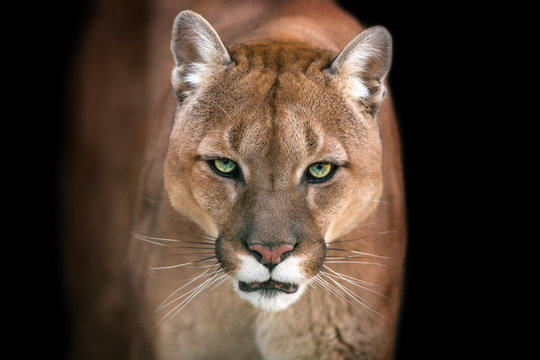 Puma, cougar portrait isolated on black background
