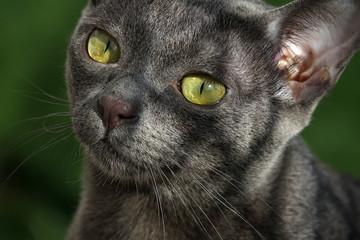Un Korat, chat de race thaïlandaise
