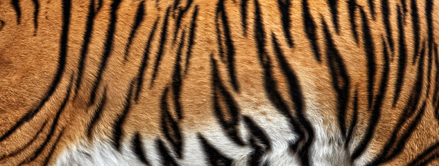 real tiger skin texture, fur