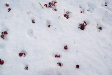 Small red berries against the white snow