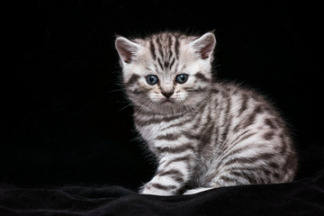 scottish cat kitten on black  background