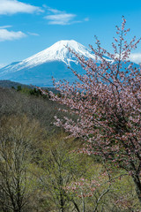 忍野の春(忍野村二十曲峠の桜と富士)