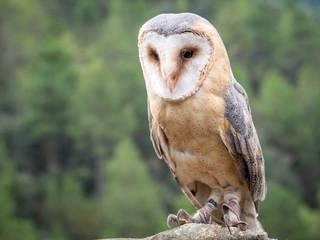 Barn owl up portrait (Tyto alba) Fototapete