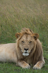 Adult male lion facing the camera lying in grass propped up on his elbows. He has flies around his face and mane. Only his head and upper body are in the photo. Photographed in natural light in Kenya