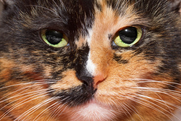 Cat closeup portrait