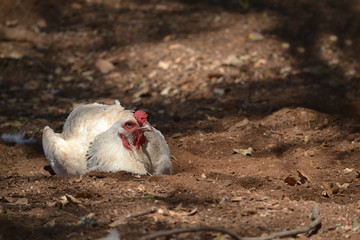 White free range chicken roosting on the dirt