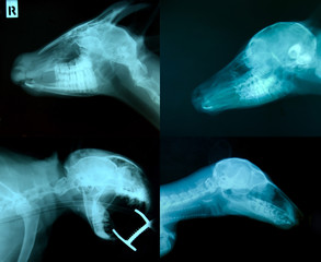 x ray picture of animal skeleton