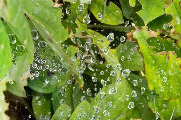 Close up of raindrops of various sizes suspended on a spider Web woven between light green leaves below. Some leaves have been nibbled on by insects. Photographed with a shallow depth of field.