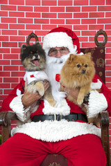 Santa Claus with white long haired small Pomeranian dogs sitting on a tatted chair, red brick background. Santa Paws.