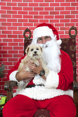 Santa Claus with white long haired small dog sitting on a tatted chair, red brick background. Santa Paws.