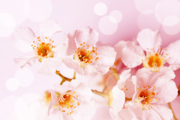 Floral wallpaper. Cherry tree  flowers in blossom , Soft blurred style with special colored and light effects