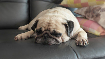 Close up face of Cute pug dog puppy sleeping rest in sofa