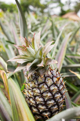 Pineapple in the field