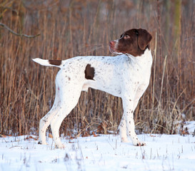 Amazing French Pointing Dog in winter