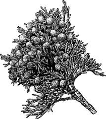 Vintage picture juniper