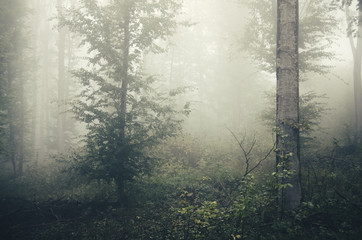 trees in misty forest background