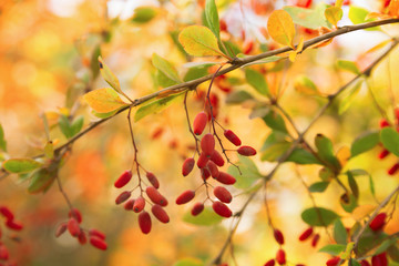 Barberry berries hanging on a branch on a colorful background of boken. Colors of autumn. Branch with berries