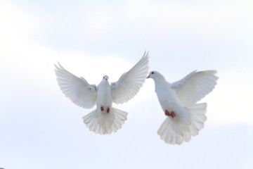 pair of white doves flying in the winter sky