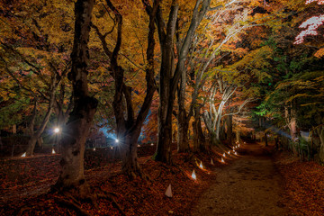 Fuji Kawaguchiko Autumn Leaves Festival - Nightly light up of maples corridor trees.