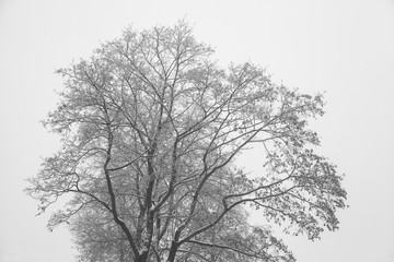 Crohn tree in winter. Bare branches, tree silhouette. Black-and-white photograph. Graphic image