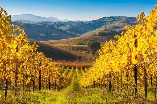 Colorful vineyard in fall