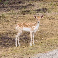 Young female Fallow Deer at the edge of grassland