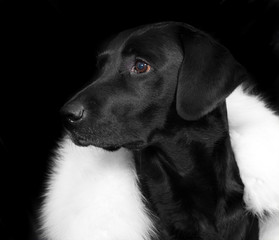 Black labrador retriever on black background.