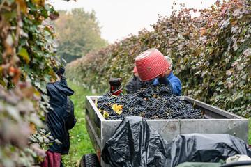 Worker or vintner in vineyard during harvest of wine grapes emptying bucket in trailer